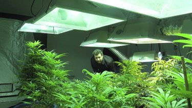 Cash crop ... Jason, of the Academy of Cannabis Culture and Technology in Seattle, Washington, with plants grown legally for research and medical purposes.