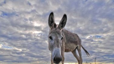 One of the donkeys at the Tongala shelter.