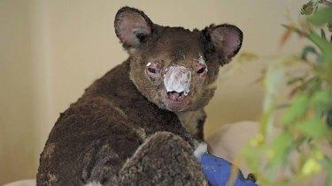 Rian the koala suffered horrific burns during a controlled bushfire.
