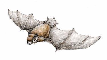Christmas Island pipistrelle bat. (Illustration by Joe Benke.)