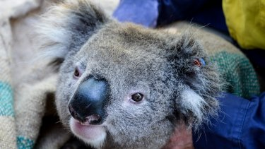 This young male koala had a GPS collar attached so researchers can study his movements.