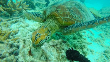 Life and times: A turtle swims in the waters off Lady Elliot Island in the Great Barrier Reef Marine Park.