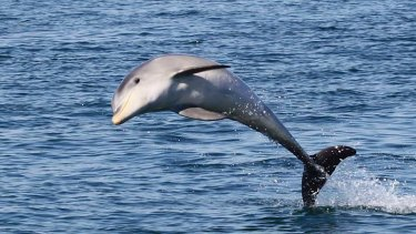 Tursiops australis, commonly known as the burrunan dolphin, has been recognised as a new species.