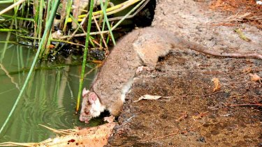 A heat distressed possum drinks water in the Botanical Gardens.