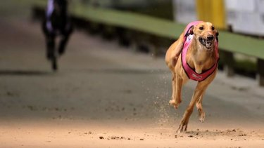 """A parliamentary inquiry will shine much-needed light on the greyhound racing code, which has been plagued by claims of mismanagement and animal mistreatment."""