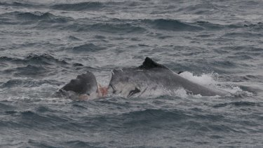 Cut to the bone. An unknown fate awaited this humpback whale after a vessel sliced into its back off the Whitsunday Islands, Queensland.