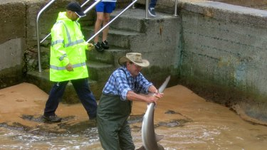''Nasty bite'' ... council workers wrestle with the bronze whaler discovered at Avalon yesterday.