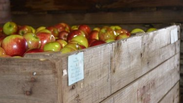 "Synthetic gas keeping fruit ""fresh"": Apples in cold storage in Orange, NSW."