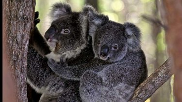 A rare sight: Koalas have been forced out of their normal habitats following recent bushfires.