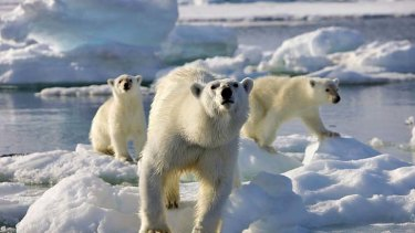 Controversy ... a polar bear birth was filmed in a zoo for popular TV programme Frozen Planet.