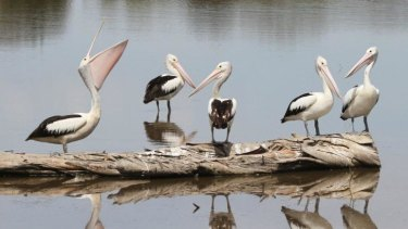 Pelicans at the Jerrabomberra Wetlands, near Canberra.
