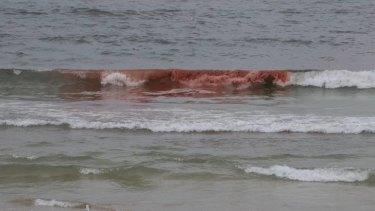 Red tide ... an algal bloom forced the closure of Bondi Beach.