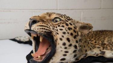 A Jaguar rug seized by officers.