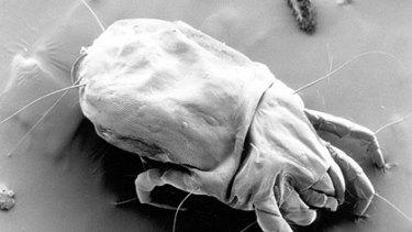 A female mite.