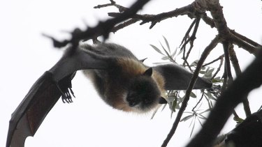 Flying foxes, usually blamed for lyssavirus
