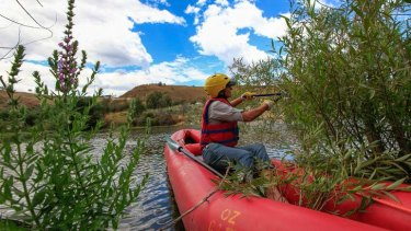 The NSW Government is providing an additional $10,400 to a project called the Upper Murrumbidgee Demonstration Reach, which controls willow trees along 45 kilometres of the Upper Murrumbidgee. Trimming the willow trees from her canoe, Anthea Brademann, facilitator of the upper Murrumbidgee demonstration reach.