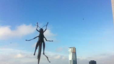 Andrew Gartlan took this photo of a locust on the window of his 34th floor CBD office at 7.30am today.