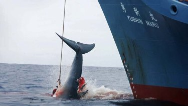 Relying on handouts ... the Japanese whaling industry.