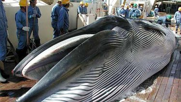 A whale lies on a Japanese research whaling ship.