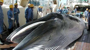 Japan is seeking to return to full-scale commercial whaling.