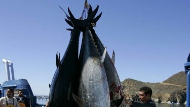 Mexican workers harvest bluefin tuna from tuna pens near Ensenada. New research has found increased levels of radiation in Pacific bluefin tuna caught off the coast of southern California.