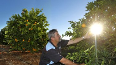 ''They're going to kill the town'' ... Jim Minato checks his oranges on his property near Griffith. He supports water buybacks but worries about the effect the basin plan will have on the region.