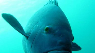 Sightings of blue groper (which grow to a metre) in Victorian waters have experts hoping numbers of the fish are on the rise.