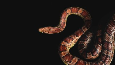 National Zoo and Aquarium Kernel, American Corn Snake, Pantherophis guttatus Photo by Rohan Thomson Please contact The Canberra Times - Scott Hannaford or Karleen Minney before use. 62802211