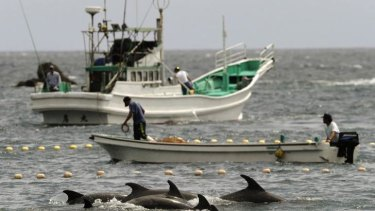 Herded to the slaughter: Dolphins being rounded up by Japanese fishermen in Taiji. The killings have been condemned by US Ambassador to Japan Caroline Kennedy.