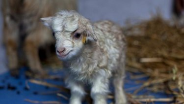 Noori, the cashmere goat clone, could help Kashmiri families.