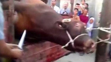 A bull struggles violently on the back of a truck.