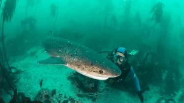 Dr Mark Meekan swimming with a cow shark, the closest species to the frilled shark.