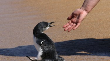 North the penguin is a little reluctant to go back to sea.