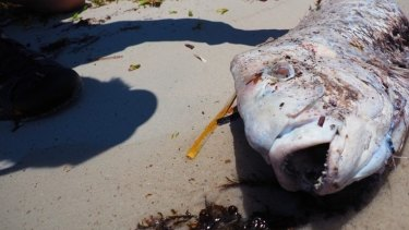 A dead pink snapper in Cockburn Sound.