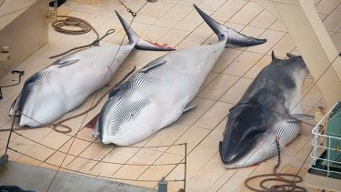 Three minke whales lie dead on the deck of the Japanese factory ship Nisshin Maru inside a Southern Ocean sanctuary, according to anti-whaling activists Sea Shepherd.