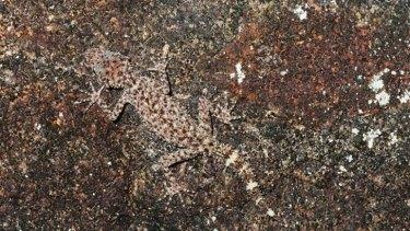 A Gulbaru Gecko trying to be a rock.