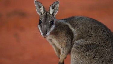On the brink of extinction: the bridled nailtail wallaby.