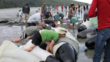 Volunteers try to refloat stranded pilot whales at Colville Bay yesterday.