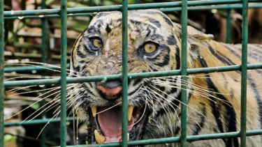 A female Sumatran tiger that is believed to have killed three men last month.