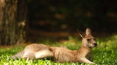 Kangaroo meat has less fat than beef.