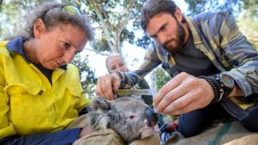 Deakin University researchers Desley Whisson (left), Kita Ashman (centre) and Darcy Watchorn measure a young male koala's head length.