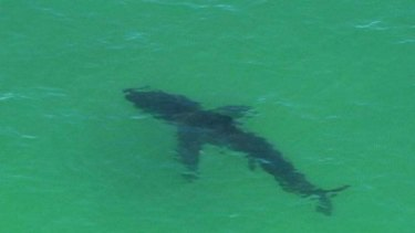 A shark spotted off Byron Bay.