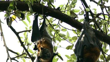 Wildlife Queensland believes dispersing or culling flying-foxes is not the solution to fighting Hendra virus.