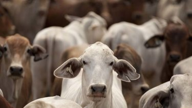 """Bloody happy"" ... cattle exports to Indonesia will begin again next week."