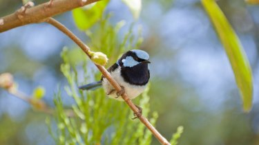 A study has found that some bird species choose not to reproduce in order to guard the nests of their close relatives.