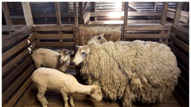 There's no guessing which sheep returned home with 20 kilograms of wool.