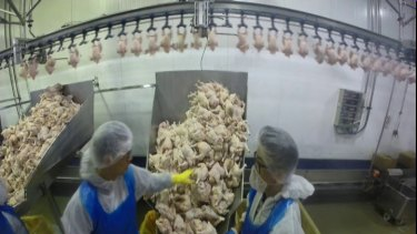 Factory workers working with poultry on <i>Four Corners</i>.