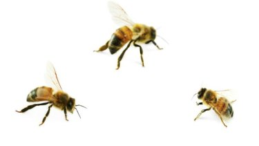 Bees play a key role in pollinating plants.