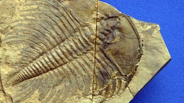 A fossil of a trilobite, a horsecrab-like creature that thrived in the seas for hundreds of millions of years before becoming one of many kinds of animals wiped out in a mass extinction that befell the planet 252 million years ago.