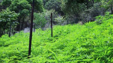 More than 8000 cannabis plants were seized from the Moogerah property. Photo: Queensland Police Service.